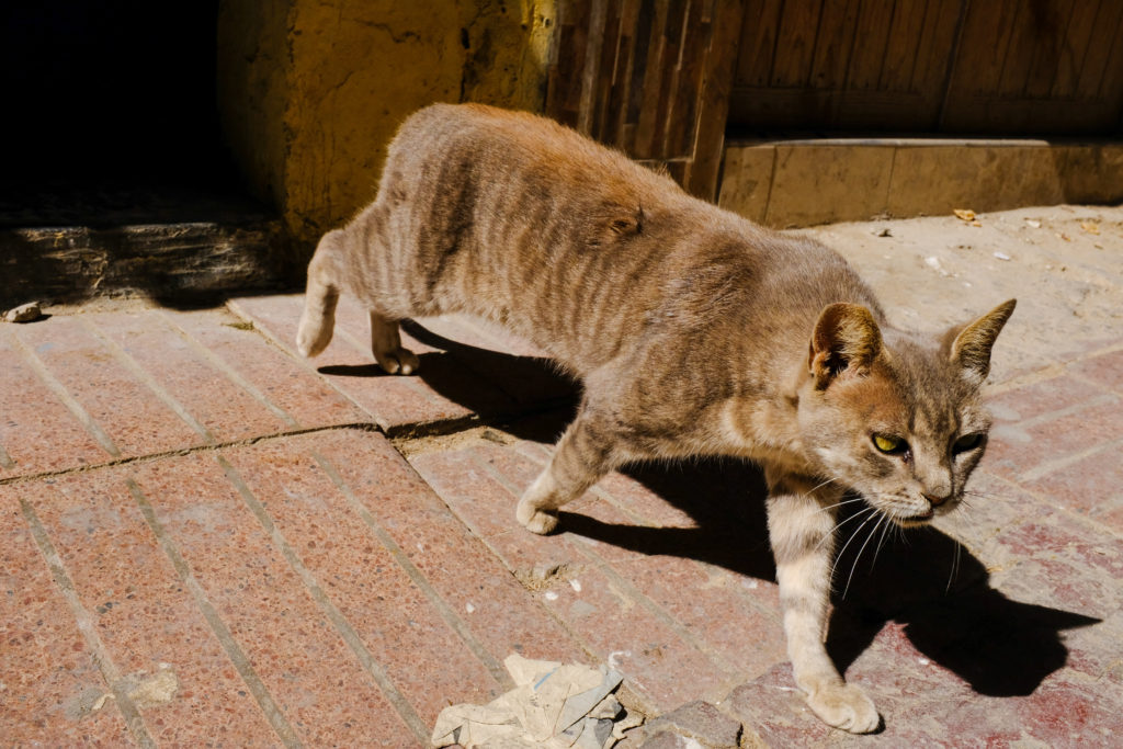 Meet the street cats of Morocco - Commonplays